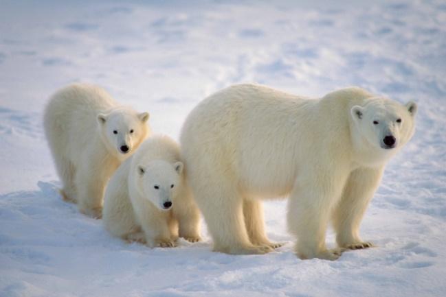 Photos sous marine  100-pour-cent-ours-blanc